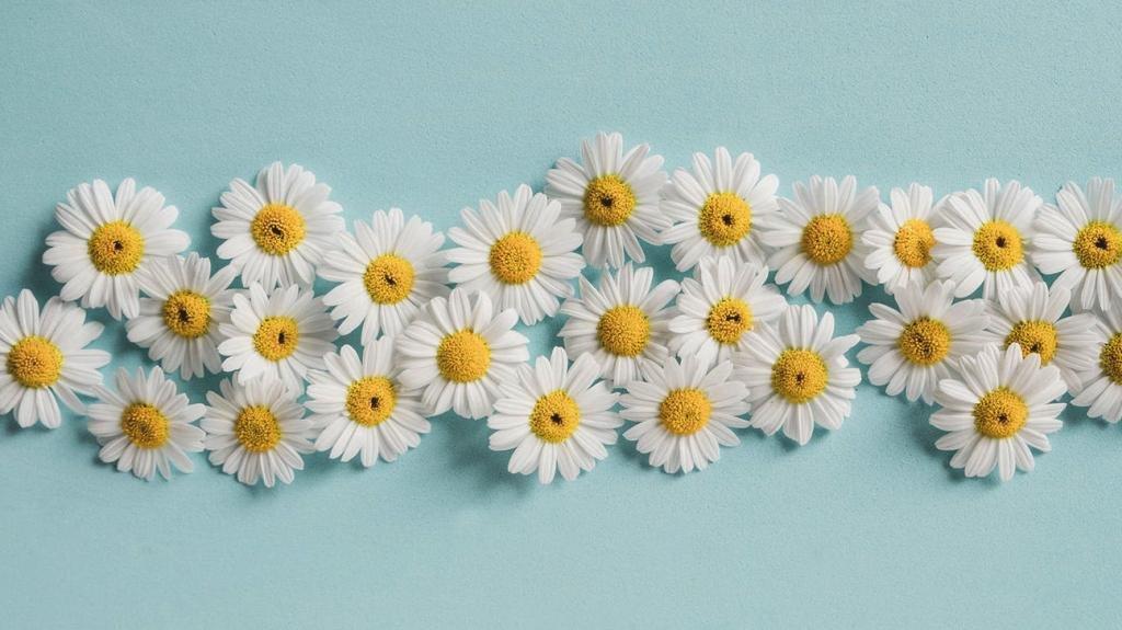 Цветы ромашки для отвара